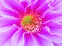 Fleur violette de cactus Image libre de droits