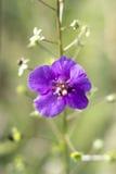Fleur violette de champ images stock