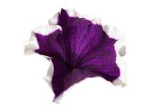 Fleur violette de pétunia d'isolement Photographie stock