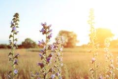 Fleur violette de pré avec des rayons du soleil Image stock