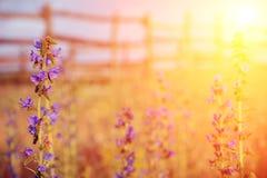 Fleur violette de pré avec des rayons du soleil Images stock