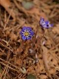 Fleur violette de ressort Photographie stock