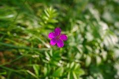 Fleur violette fleurissant sur un pré Image libre de droits