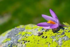 Fleur violette lumineuse de ressort de crocus, nature de montagne Montagne SA image stock