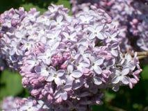 Fleur vulgaris de Syringa Images stock