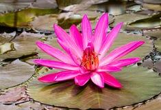 Fleur waterlily de floraison de rose Photographie stock