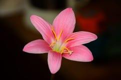 Fleur - zefirantes en gros plan Photo stock