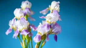Fleuret azul hermoso - iris Est? en fondo azul