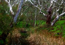 Fleurieu Stream. A scenic stream on South Australia`s Fleurieu Peninsula, featuring white Ghost Gums and Australian reeds Royalty Free Stock Images