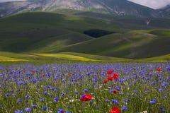Fleurissant dans le Pian grand de Castelluccio di Norcia, l'Ombrie, Italie Photo stock
