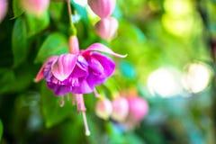 Fleurissant fleur fuchsia rouge et lilas sur le fond vert, ` Kath Photographie stock libre de droits