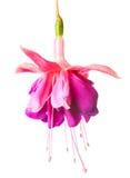Fleurissant fuchsia lilas et blanc, d'isolement sur le blanc Photo stock