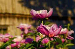 Fleurissant la pivoine des fleurs de ressort dans le parkPeony est une pivoine et une usine de pivoine, arbustes à feuilles caduq photos libres de droits