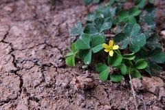 Fleurissant peu d'arbre de fleur et de trèfle sur le sol sec et de fente Photographie stock libre de droits