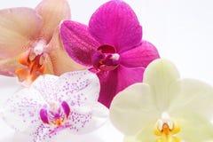 Fleurissant quatre fleurs d'orchidée Image stock