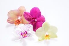 Fleurissant quatre fleurs d'orchidée Images stock