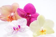 Fleurissant quatre fleurs d'orchidée Image libre de droits