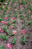 Fleurissant tulipes roses et rayées sur le parterre, couvert même de rangées photographie stock