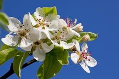 Fleurissant une cerise de source Photo libre de droits