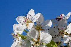 Fleurissant une cerise de source Photographie stock libre de droits