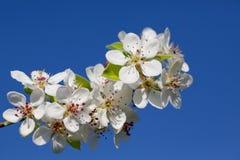 Fleurissant une cerise de source Photographie stock
