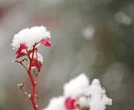 Fleurissez couvert de neige blanc dans le froid dans le jardin d'hiver Image libre de droits