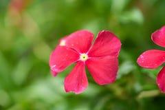 Fleurissez dans le jardin avec le fond de vert de tache floue, beau une fleur rouge et des plantes vertes Image libre de droits