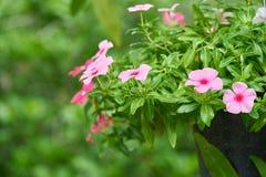 Fleurissez dans le jardin avec le fond de vert de tache floue, les belles fleurs roses et les plantes vertes en parc Photographie stock libre de droits