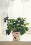 Fleurissez dans un pot sur le rebord de fenêtre avec un pulvérisateur Photographie stock