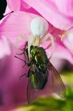 Fleurissez l'araignée (de crabe) mangeant la mouche verte Photographie stock libre de droits