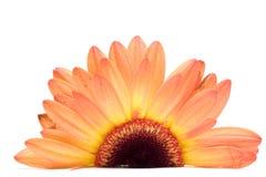 Fleurissez l'instruction-macro d'isolement sur le blanc Photo libre de droits