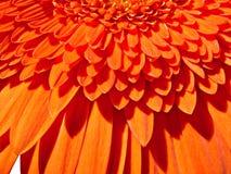 fleurissez l'orange de gerber Photos libres de droits