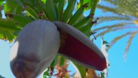Fleurissez la banane sur un arbre contre un ciel bleu lumineux banque de vidéos