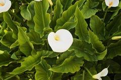 Fleurissez la calla dans le jardin parmi les feuilles Photos stock