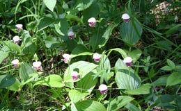 Fleurissez la pantoufle repérée du ` s de dame, famille d'orchidée Photographie stock libre de droits
