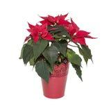 Fleurissez la poinsettia dans le pot rouge d'isolement sur le fond blanc Images stock
