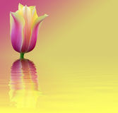 Fleurissez la tulipe de carte sur le fond rose et jaune Photo stock