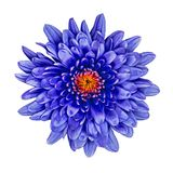 Fleurissez le chrysanthème bleu avec une nuance orange rouge à l'intérieur, d'isolement sur le fond blanc Fin de bourgeon floral  images libres de droits