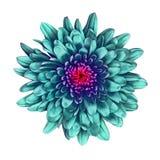 Fleurissez le chrysanthème cyan avec une nuance rouge à l'intérieur, sur le fond blanc Fin de bourgeon floral vers le haut Élémen image libre de droits