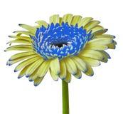 Fleurissez le Gerbera bleu jaune d'isolement sur un fond blanc Plan rapproché Bourgeon floral sur une tige verte Photo libre de droits