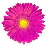 Fleurissez le Gerbera jaune lilas d'isolement sur le fond blanc Plan rapproché Macro Élément de conception Image libre de droits