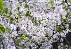 fleurissez le jardin en gros plan de fleurs de cerisier de branche d'arbre de couleur blanche Image libre de droits