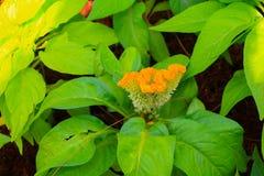 fleurissez le jaune emplumé ou l'argentea bel I de crête de Celosia Image libre de droits