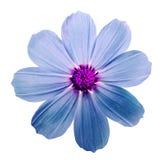 Fleurissez le kosmeya, fond d'isolement par blanc avec le chemin de coupure Cl Photos libres de droits