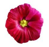 Fleurissez le lavatera, fond d'isolement par blanc avec le chemin de coupure Images stock