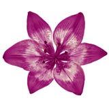 Fleurissez le lis blanc d'aubergine d'isolement sur le fond blanc Plan rapproché Photo libre de droits