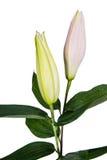 Fleurissez le lis sur un fond blanc avec l'espace de copie pour votre messa Photos libres de droits