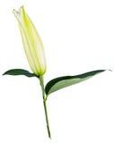 Fleurissez le lis sur un fond blanc avec l'espace de copie pour votre messa Photographie stock libre de droits