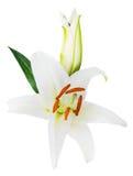 Fleurissez le lis sur un fond blanc avec l'espace de copie pour votre messa Photo stock