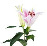 Fleurissez le lis sur un fond blanc avec l'espace de copie pour votre messa Photographie stock